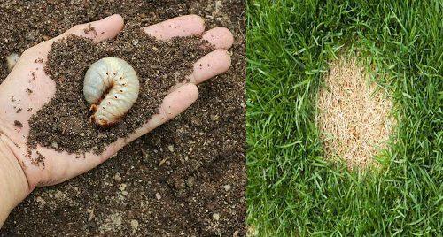 grubs in the soil